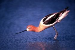 American Avocet in Breeding Plumage Photo