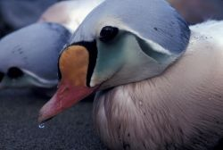 King Eider male, oiled, Photo