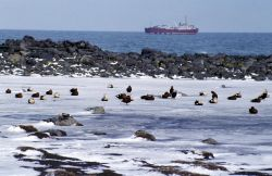 King Eiders, oiled with freighter Photo