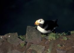 Horned Puffin on Hall Island Photo