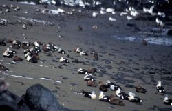 King Eiders oiled on St Paul Island Photo