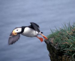 Horned Puffin Hall Island Photo