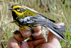 Townsend's Warbler in Hand Photo