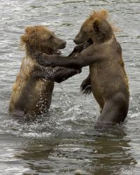 Brown Bear Cubs Photo