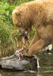 Brown Bear Feeding on Salmon Photo