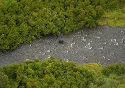 Black Bear in Russian River Photo