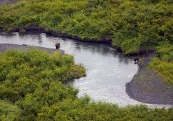 Brown Bear and Black Bear in the Upper Russian River Photo