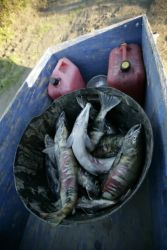 Subsistence catch of dog salmon on Koyukuk River Photo