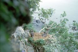 Bald Eagle Cliff Nest with Fledglings Photo