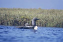 Pacific Loon or Arctic Loon and Brood Photo