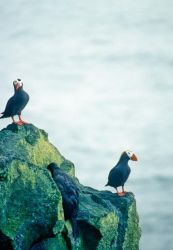 Tufted Puffins Photo