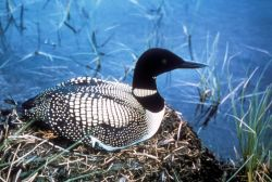 Common Loon on Nest Photo