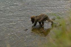 Brown Bear Cub Photo