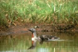 Red-throated Loon with Brood on Water Photo