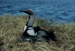 Arctic Loon or Pacific Loon on Nest Photo
