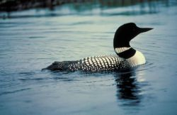 Common Loon on Water Photo