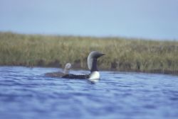 Arctic Loon and Brood Photo