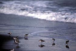 Sanderlings at Shoreline Photo