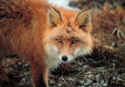 Red Fox at Cape Newenham Photo