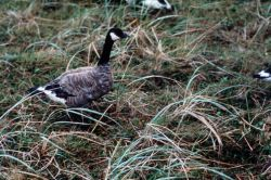 Cackling Canada Goose Photo