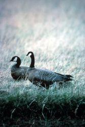 Cackling Canada Goose Pair Photo
