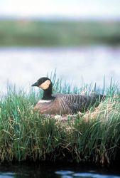 Cackling Canada Goose on Nest Photo