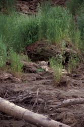 Wolf Resting in Front of Den Photo