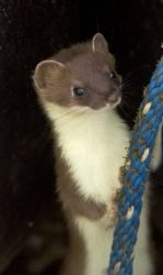 Weasel, Short-tailed Photo