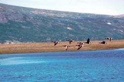Brant in Flight Photo