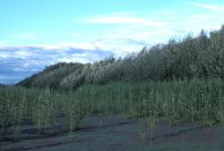 Koyukuk River Shoreline Vegetation Photo