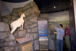 Dall sheep display at Interagency Visitor Center, Coldfoot, Alaska Photo