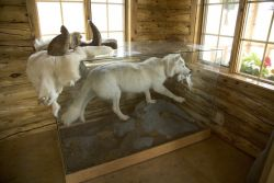 White wolf display at Bettles Ranger Station_ Photo
