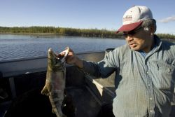 Subsistence caught Chum salmon on the Koyukuk River Photo