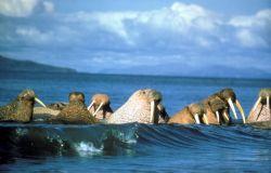 Walrus Herd in Water Photo