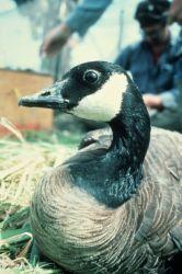 Dusky Canada Goose Photo