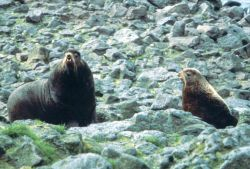 Northern Fur Seals Photo