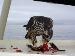 Peregrine Falcon on deck of AMNWR research vessel, M/V Tiglax Photo