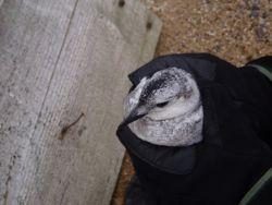 Black Guillemot on Cooper Island Photo