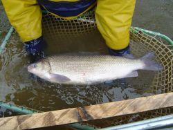 Broad whitefish Photo