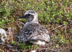 Black-bellied Plover on Nest Photo