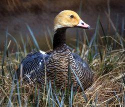 Emperor Goose on Nest Photo