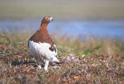 Willow Ptarmigan Photo