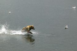 Brown Bear Running Through Water Photo