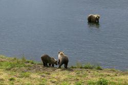 Brown Bears at Frazer Fish Pass Photo