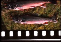 Arctic Char Photo
