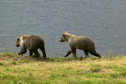 Brown Bear Cubs at Frazer Fish Pass Photo