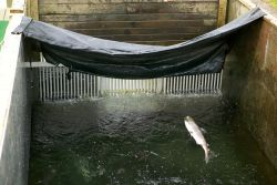 Salmon Jumping at Frazer Fish Pass Photo