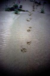 Wolf Tracks at Nogahabara Sand Dunes Photo