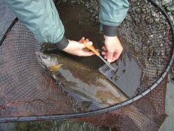 Clipping a Fin from a Coho Salmon for Analysis Photo