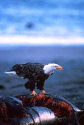 Bald Eagle on Whale Carcass Photo